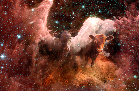 Space Cattle Image